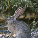 hare three