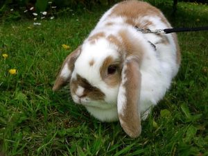 rabbit-walking