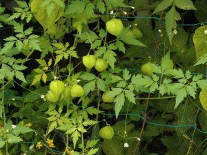 climbing-plant
