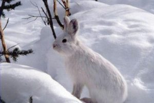 rabbit-in-snow