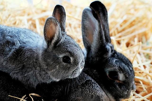 gray-rabbits