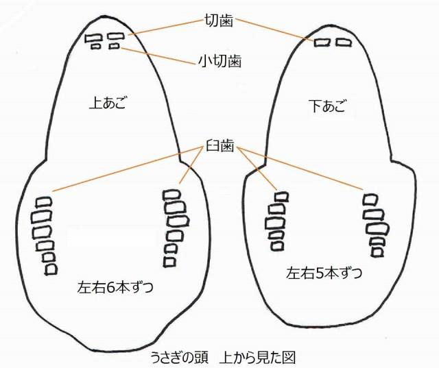うさぎの歯上からの図